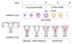 the menstrual cycle and how you can track it